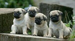 Best quality pug puppies for sale in Nagpur