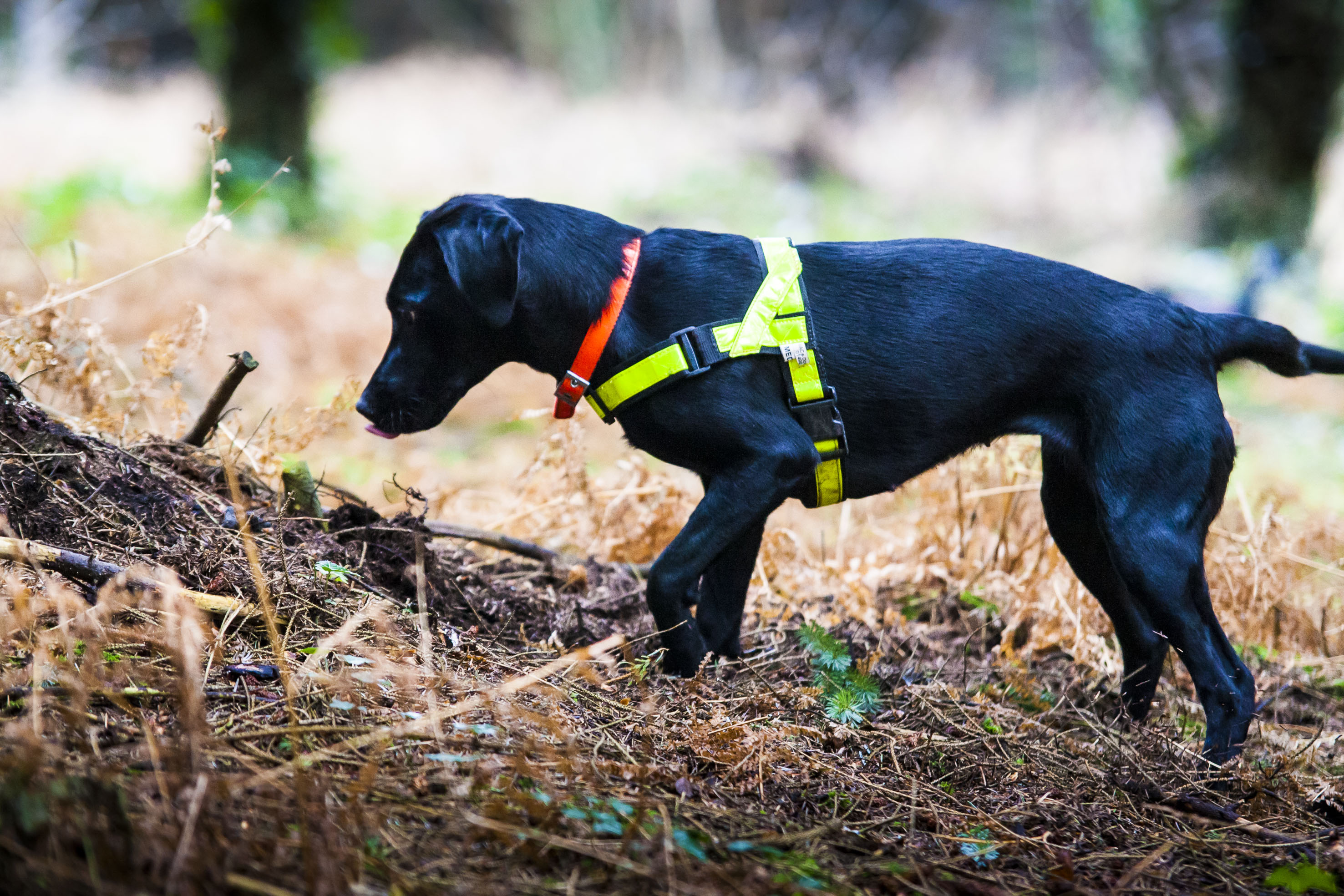 Our #SnifferDogs are capable of detecting small quantities of explosives in any area. Ideal for vehicle search, and clearing of area before VIP visits.