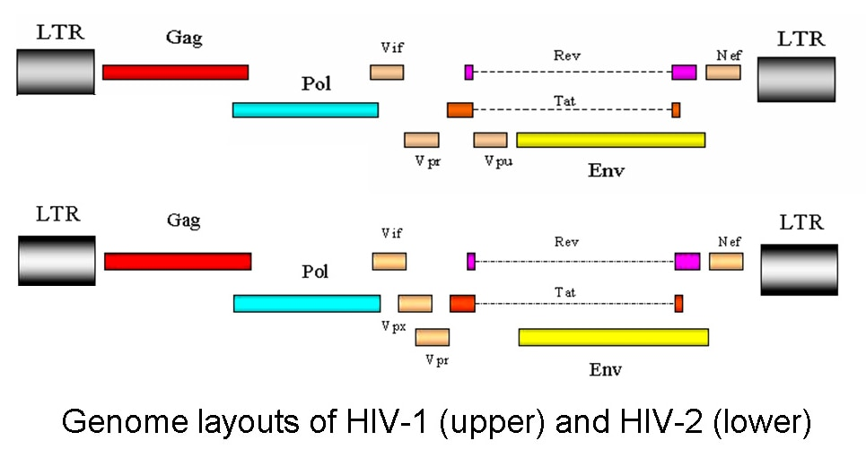 HOO-IMM PLUS called unparalleled anti-HIV herb drug due to the absence of qualitative proviral DNA (LTR & GAG region), for the post treated HIV patients with HOO-IMM PLUS. GAG, the genomic region encoding the capsid protein. It gives rise to gag precursor protein P55 which is called assemblin, indicates its role in viral assembly. The P55 myristoylated protein, which is processed to P17(matrix), P24(capsid), P7(nucleocapsid) and P6 protein, by the viral protease. It associates with the plasma membrane, where virus assembly takes place. So this makes HOO-IMM PLUS an incomparable natural remedies.