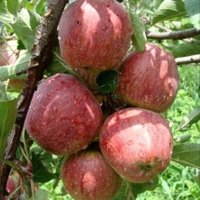 Organic Apples  Organic Apples from Himachal has arrived...  No Chemical pesticides  No Cold storage  No waxes and Coatings  Buy them online at www.organictapovana.com or call 9962299398 for phone order  Free home delivery for Bill amount of rupees 500 to south chennai areas