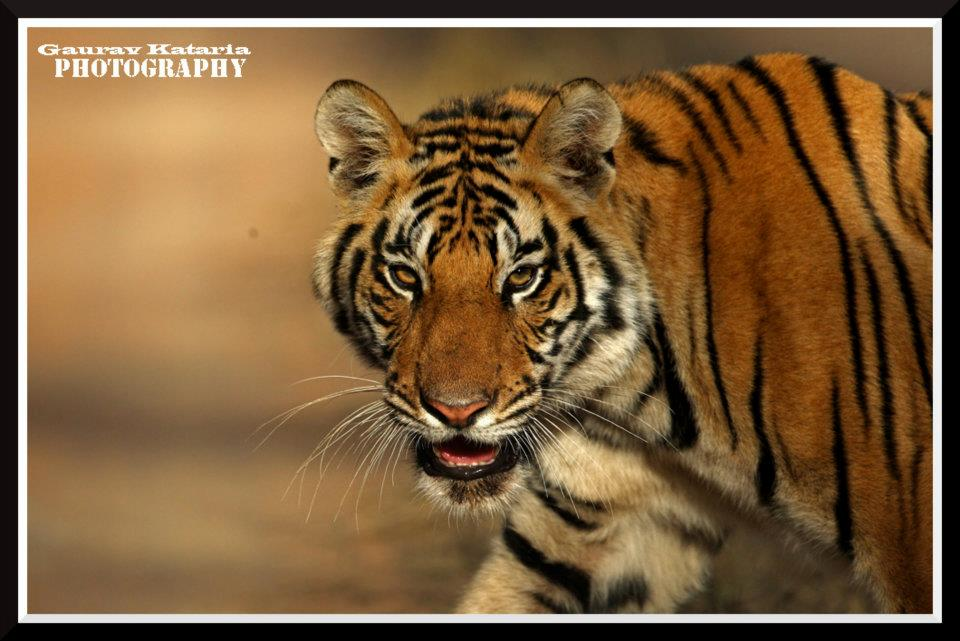 Asian Adventures has designed the finest hassle free, Big Cat Tours across India. Our Tiger Tours are the best sellers with a high success rate. Book an exciting tour taking you straight into the heart of Tiger country, with exciting safaris and adventure activities.  E: info@asianadventures.in