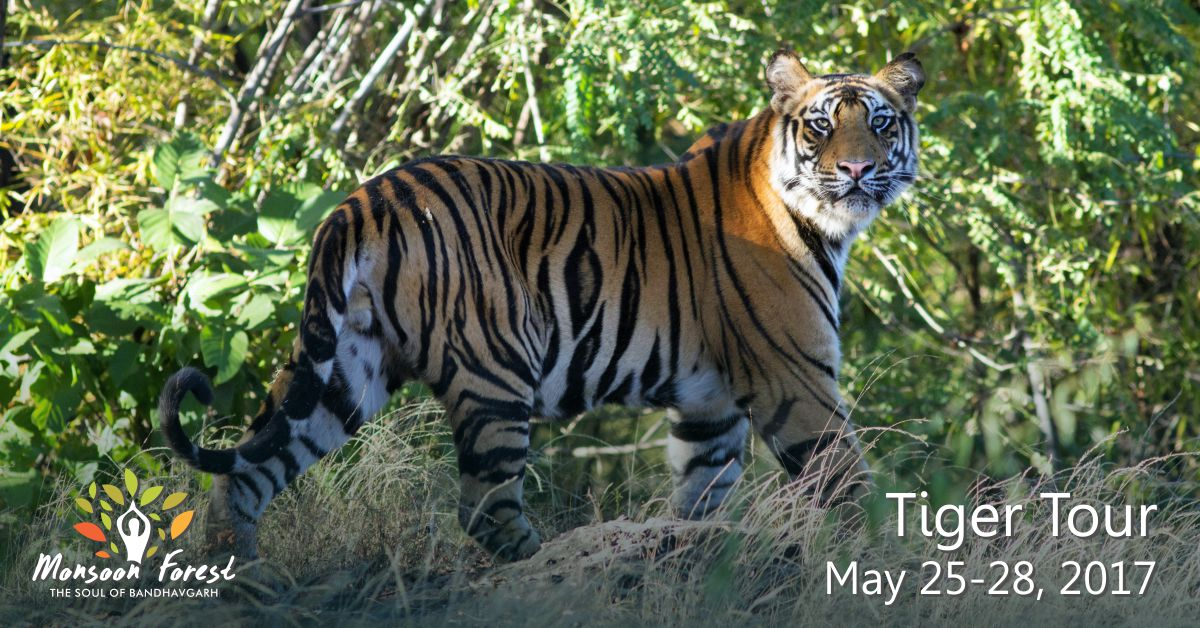 The wonders of nature are in plenty in Bandhavgarh, and with tiger cub boom, it is time for you to enjoy every aspect of the beauty of the places around! If you love wildlife and anything associated with it, then head for Monsoon forest, Bandhavgarh.  Join the Tiger Tour this May 25-28, for an exciting Wildlife holiday. Indulge in nature walks, village, fort and temple visits, photography, safaris, view the regions amazing wildlife, including the new tigresses and their cubs.  E- info@asiansdventures.in