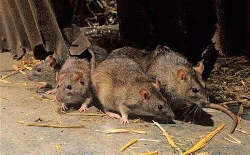 On average, a rat wi