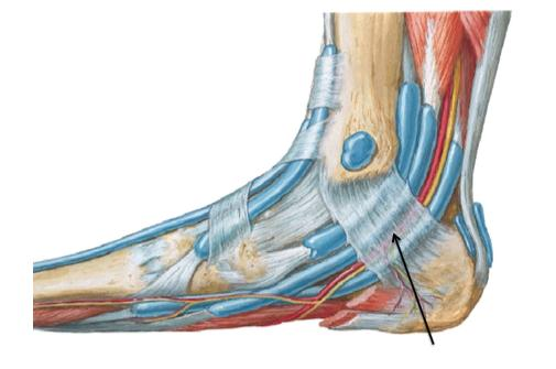 Multiple Choice Question for NEET-PG 2018  Which of the following pass below the marked structure 1. Anterior tibial artery 2. Tibialis anterior 3. Deep peroneal nerve 4. Tibial nerve