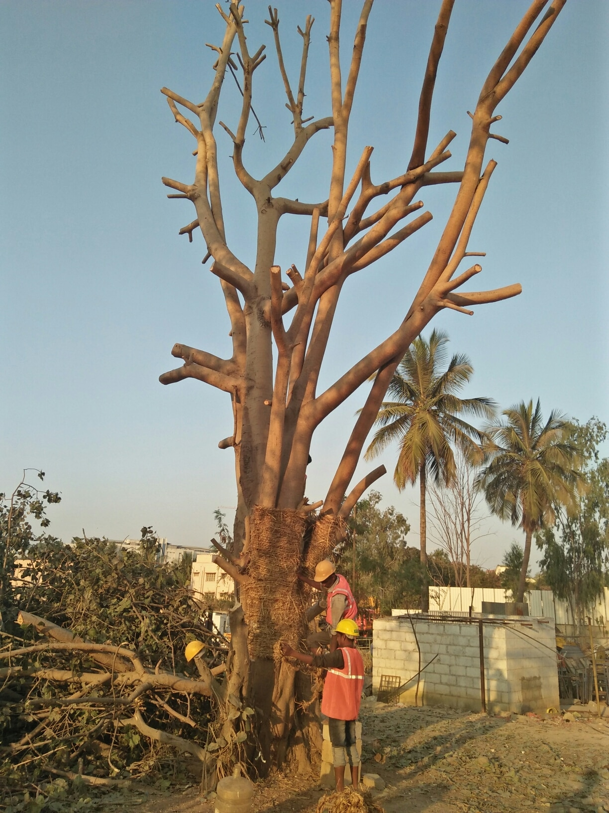 we provide tree transplant service in Bangalore.