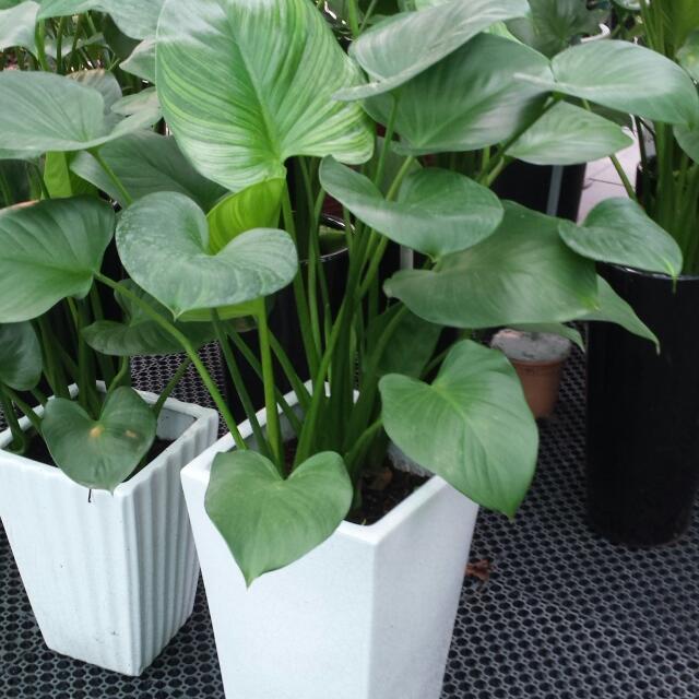 ALOCASIA PLANT suppl