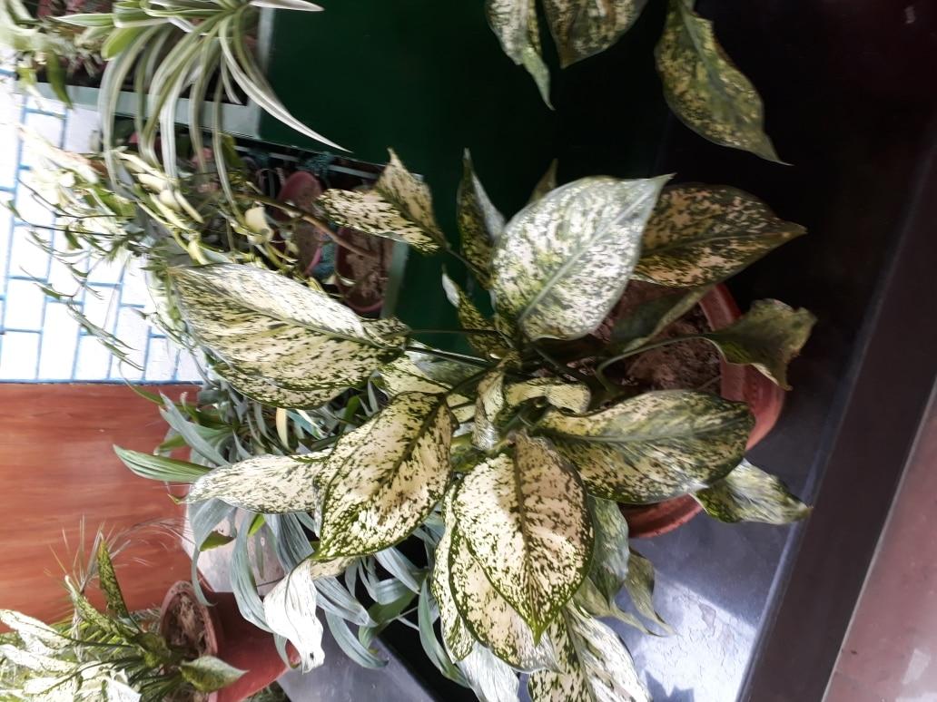 Aglonema Plant Suppl