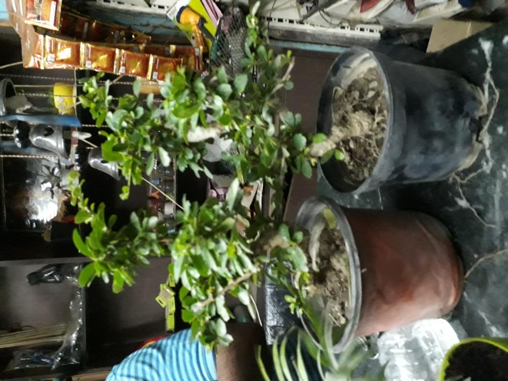 Caramona Plants Supp
