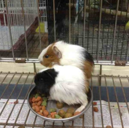 Guinea pig for sale - by Pet Galaaxy, Hyderabad