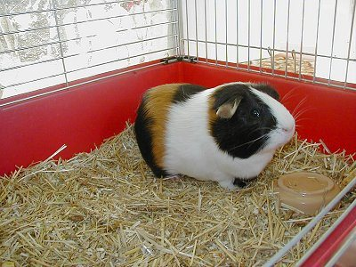 Guinea Pigs are amongst the most adorable super low maintenance pets any kid or family can wish for. They eat anything and are extremely kid friendly ! The set comprises of one guinea pig, instructions, free reminder service for 1 year and  - by Gift-a-goldfish, Gurgaon