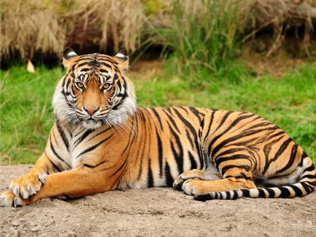 The tiger is the largest cat species, reaching a total body length of up to 3.38 m over curves and weighing up to 388.7 kg in the wild.