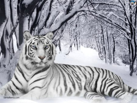 The white tiger is a rare pigmentation variant of the Bengal tiger, which is reported in the wild from time to time in Assam, Bengal, Bihar and especially in the former State of Rewa.