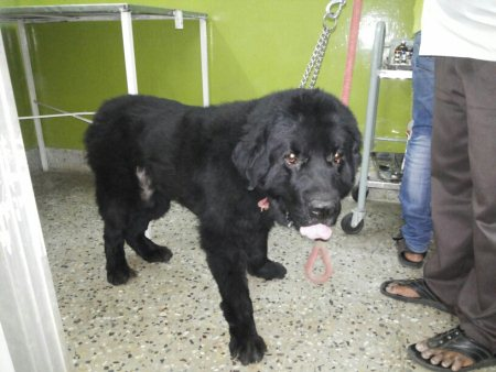 New Found Land male is available for stud at Vet n Pet hospital, Jubilee hills.  - by Vet N Pet Hospital, Hyderabad