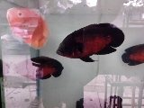Aoskker fish.  One pair pruce s 1800/.- - by Gold Land Aquarium, Tumkur