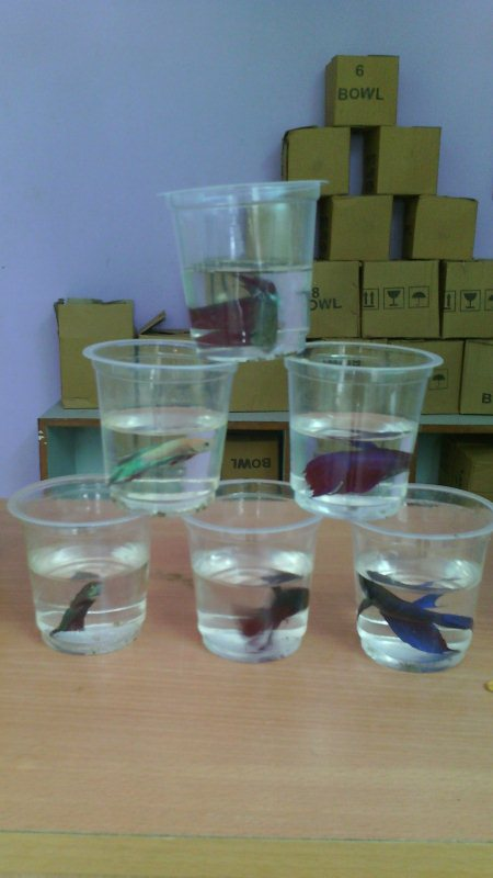 Faetar fish - by Aqua Magic The Aquariums Shop, Ahmedabad