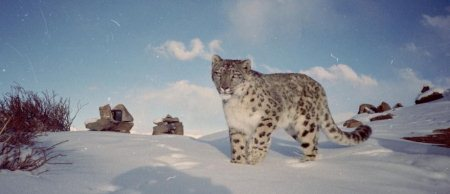 Get ready for adventurous Snow Leopard Expedition in Himalayas.  Expedition tour providers in Delhi and Himachal Pradesh