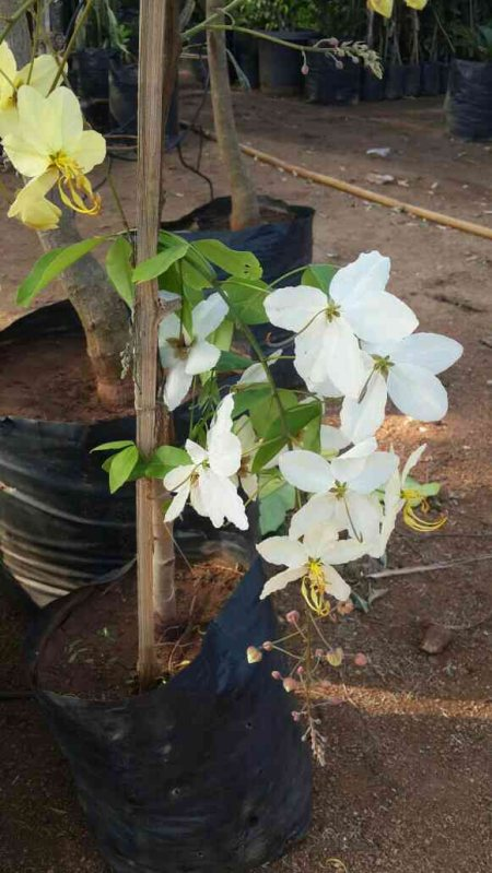 Casia festula white colour available in sri satyanarayana nursery gardens jubilee hills, banjarahills, madhapore, hitech city - by Sri Satyanarayana Nursery Gardens, Hyderabad
