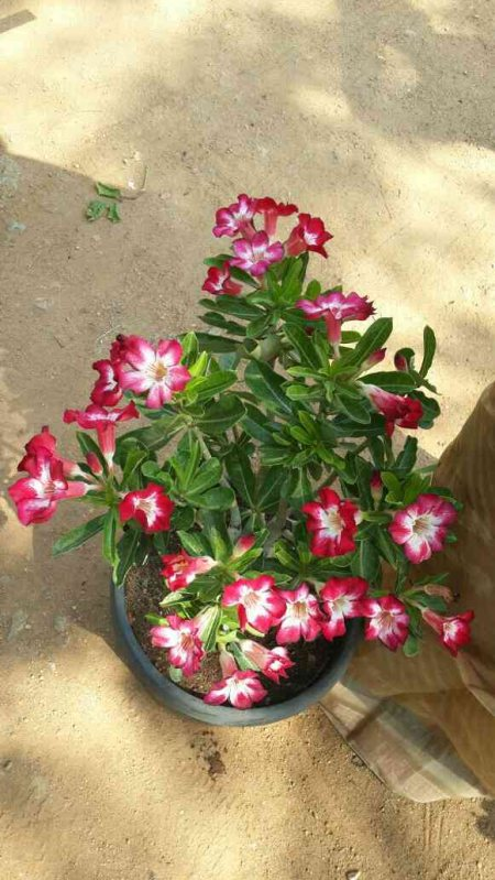 Adeniam plants are available in sri satyanarayana nursery gardens jubileehills banjarahills  - by Sri Satyanarayana Nursery Gardens, Hyderabad