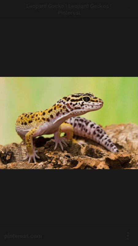 Hey all u gecko lovers follow me and we can have fun . - by Love Your Leopard Gecko, Pinellas County