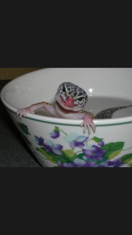 Bathing geckos so cute  - by Love Your Leopard Gecko, Pinellas County