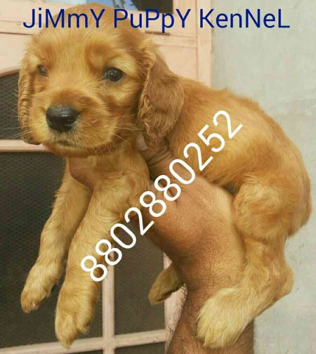 cocker spaniel puppies for sale  - by jimmy puppy kennel, Delhi