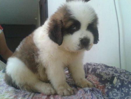 SAINT BERNARD :- the pets park :- nagpur  LOWEST PRICE :- 9021644447 - by Pets Park Animal Care Centre, Nagpur