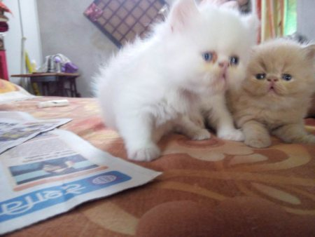 PERSIAN KITTEN  PUNCH FACE KITTEN FOR SALE:-  The pets park:- 9021644447 - by Pets Park Animal Care Centre, Nagpur