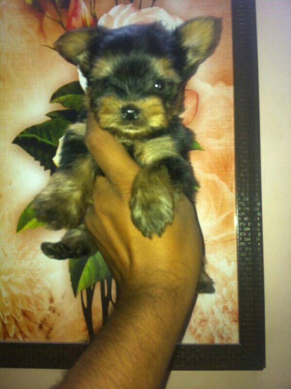 Yorkshire terrier pup available at reasonable price,  call dr choudhary@ 9810013156 for details.