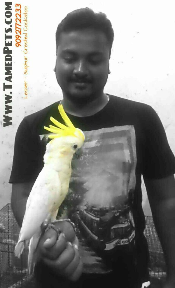 we have fully hand tamed cockatoo for sales - by Tamedpets, Chennai