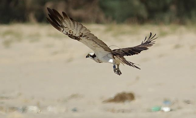 http://focusingonwildlife.com/news/missing-scottish-osprey-found-3000-miles-away-in-senegal/ - by India Eco Edge Consultancy Regd., Srinagar