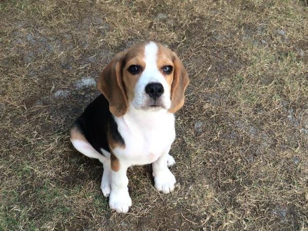 Beagle puppies for sale @ www.coimbatorepets.com - by COIMBATORE PETS, COIMBATORE