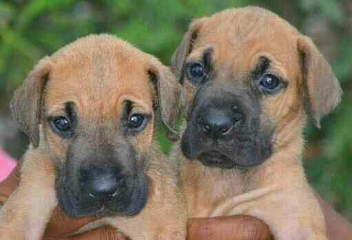 Great Dane Pups In Coimbatore Best Dane Pups In Coimbatore Dane Pups In Coimbatore