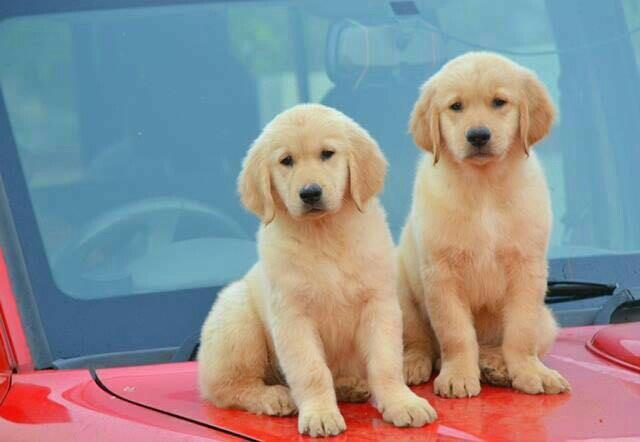 Golden Retriever Pups In Coimbatore Best GoldenRetriever Pups In Coimbatore