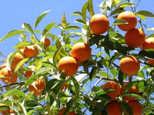 Are you looking for Fruit Plants? Contact us and get Fruits at your home.  RAK Nursery & Farm House - Fruit Plants in South Delhi - by RAK Nursery & Farm House - Palm Leaves, New Delhi