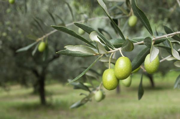 Olive Oil In Chennai                 Olive oil can also be used as a safe, natural lubricant for a close shave and as a soothing aftershave (rub on an extra teaspoon of it after you rinse off). It can also help soothe chapped lips – make a  - by Zetun Company Products, Chennai