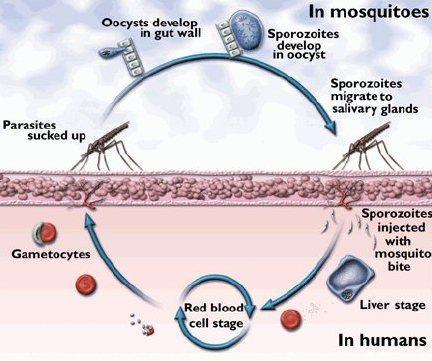 life cycle of dengue virus pdf