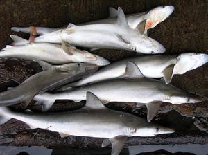 Shark Suppliers in Chennai  We are supplying Shark Fish and all other kinds of Sea Foods like Sharj Fish, Sea Foods Seer Fish supplying.    - by FISH O FISH, Chennai