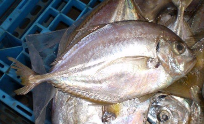 Travelly Fish Suppliers in Chennai  We are supplying Travelly Fish and all other kinds of Sea Foods like Travelly Fish, Sea Foods Travelly Fish supplying.    - by FISH O FISH, Chennai
