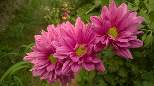 Best quality Chrysanthemums