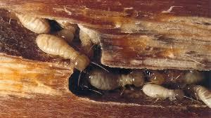 Termite can damage or destroy your wood work on which you have invested your time and money. It's not good news. Before Termite vanish complete wooden structure of your house contact Pest Control Expert for Termite inspection and get Termit - by Golden HiCare Pest Control, Crossings Republik, Ghaziabad