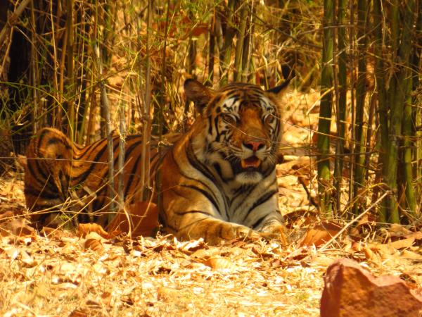 Bandhavgarh is undoubtedly amongst the best national parks in India, where maximum number of tigers are seen. While in Bandhavgarh it is recommended to stay at The Monsoon forest lodge which offers ecofriendly luxurious tents and eco lodges. Email us at info@asianadventures.in