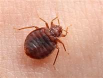 pest control service in Jaipur. Bed bugs are parasitic insects of the cimicid family that feed exclusively on blood.