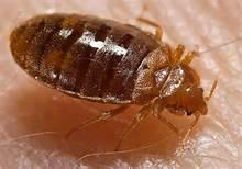 UssPestCon  Pest  Control  Solutions in Jaipur. Bed bugs are parasitic insects of the cimicid family that feed exclusively on blood.
