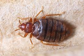 Bed Bug Treatment In Chennai  Best Pest Control In Chennai  Economical And Guaranteed Service  www.pestcontrolchennai.com