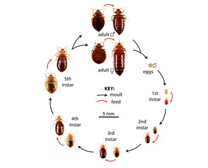 Bedbug Control In Chennai   Are you looking for Pest Control Services In Chennai...  We Offer a full line of Pest Control Services ..  25 years Experience  Odorless, Economical , Non-Toxic  Call 9841080005/04465489090  www.pestcontrolchennai.com