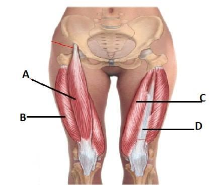 Multiple Choice Question for NEET-PG 2018  Different muscles of thigh are marked in the diagram. Identify the muscle which produce hip flexion  1. A 2. B 3. C 4. D  For more info visit us at https://adrplexus.nowfloats.com/bizFloat/5a349c1925124f05f0d4cea4/Multiple-Choice-Question-for-NEET-PG-2018-Different-muscles-of-thigh-are-marked-in-the-diagram-Identify-the-muscle-which-produce-hip-flexion-1-A-2-B-3-C-4-D-