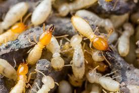 Termite Control In Chennai  Acme pest controlChennai has always ensured that we provide pest free community to our clients without any hazards to their health.  Our experienced and trained technicians carry out their services carefully and systematically.Acme pest control Provides Eco Friendly pest control  Services in Chennai