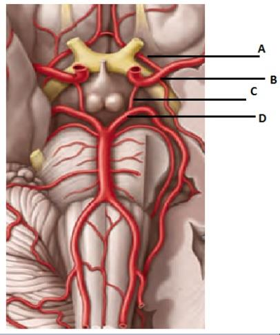 Multiple Choice Question for ANATOMY  Blood supply of brain is shown in the figure, identify posterior cerebral artery 1. A 2. B 3. C 4. D