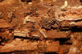 Termite Control Service i