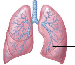Multiple Choice Question for ANATOMY   Which of the following bronchopulmonary segment is well developed in the marked lung 1. Superior lingular 2. Medial basal 3. Medial segment 4. Lateral segment
